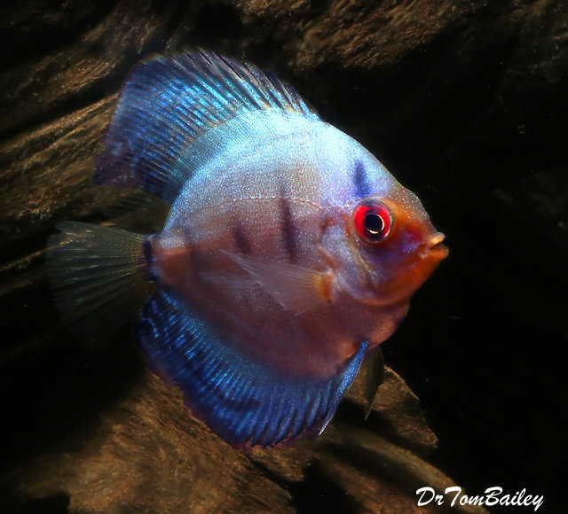 "Premium Rare Brilliant Blue Discus, 2.5"" to 3"" long"