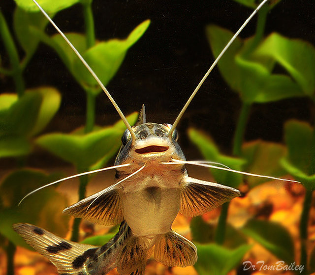 "Premium Columbian Pimelodus Pictus Catfish, 2.5"" to 3"" long"