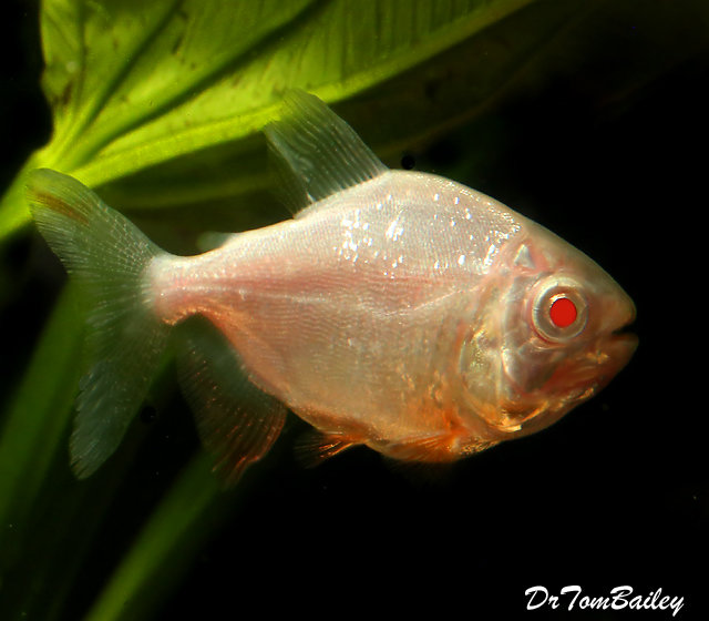 "Premium Albino Pacu, 4"" to 4.5"" long, grows much bigger"