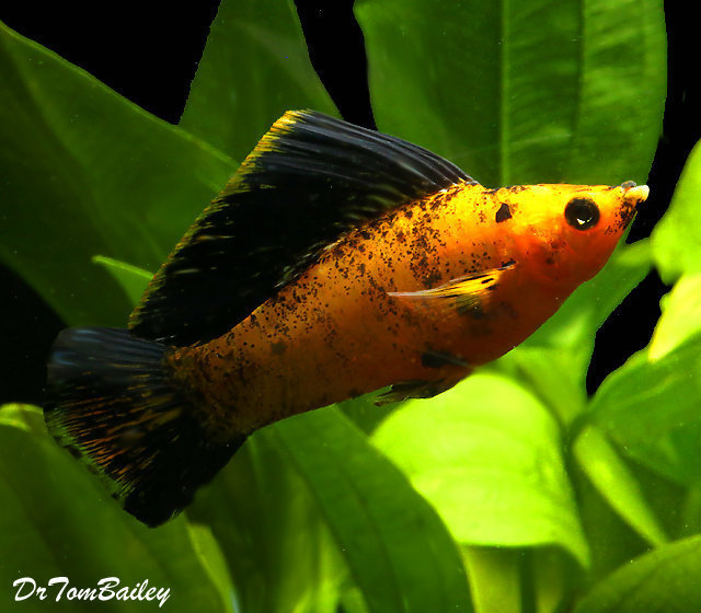 "Premium Sunset Marble Male Molly, 2.5"" to 3"" long"