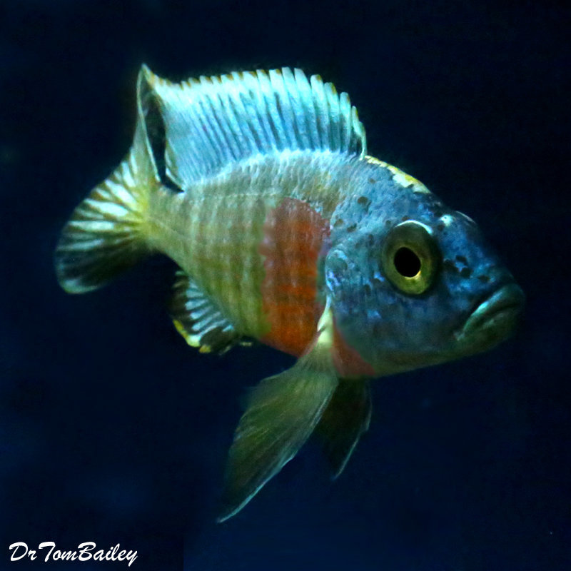 "Premium Lake Malawi Turkis Peacock Cichlid, 2"" to 2.5"" long"