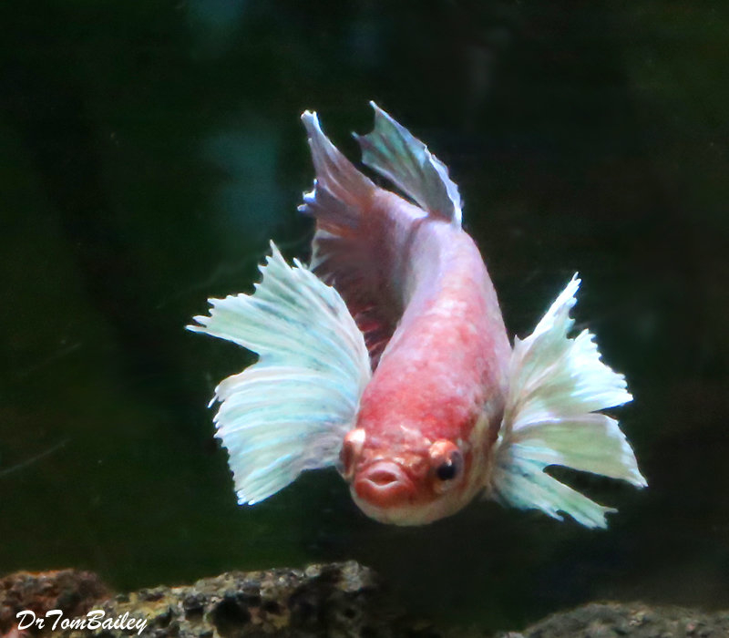 Premium Assorted Dumbo Ear Halfmoon Female Betta Fish, 1.5
