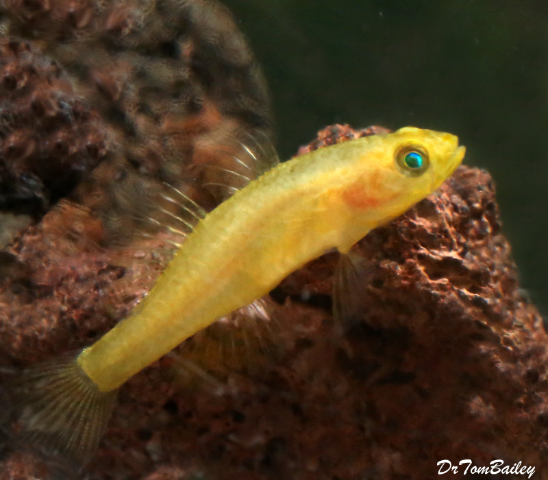 """Premium Rare Freshwater Goby, Golden Rexi Goby, 1"""" to 1.2"""" long"""