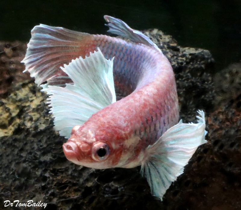 "Premium WYSIWYG Dumbo Ear Halfmoon Female Betta Fish, 1.5"" to 2"" long"