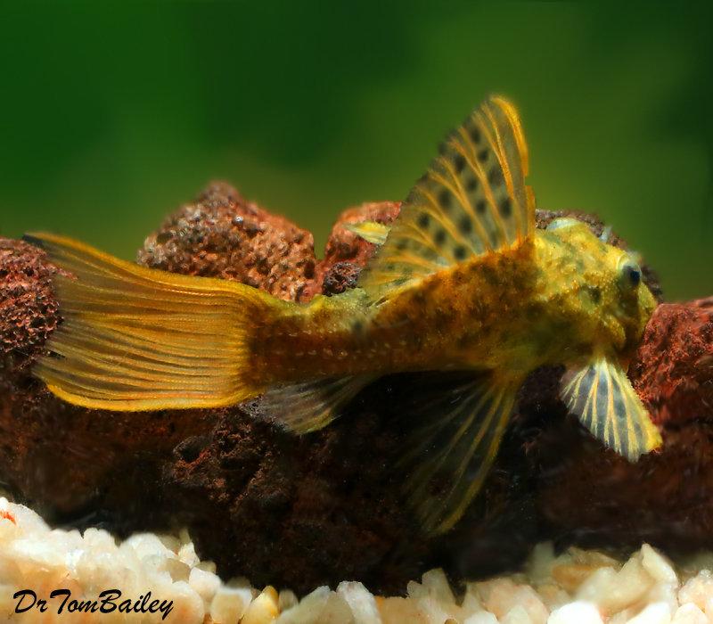 Premium WILD, Rare Spiny Monster Plecostomus Catfish, L096, Size: 4