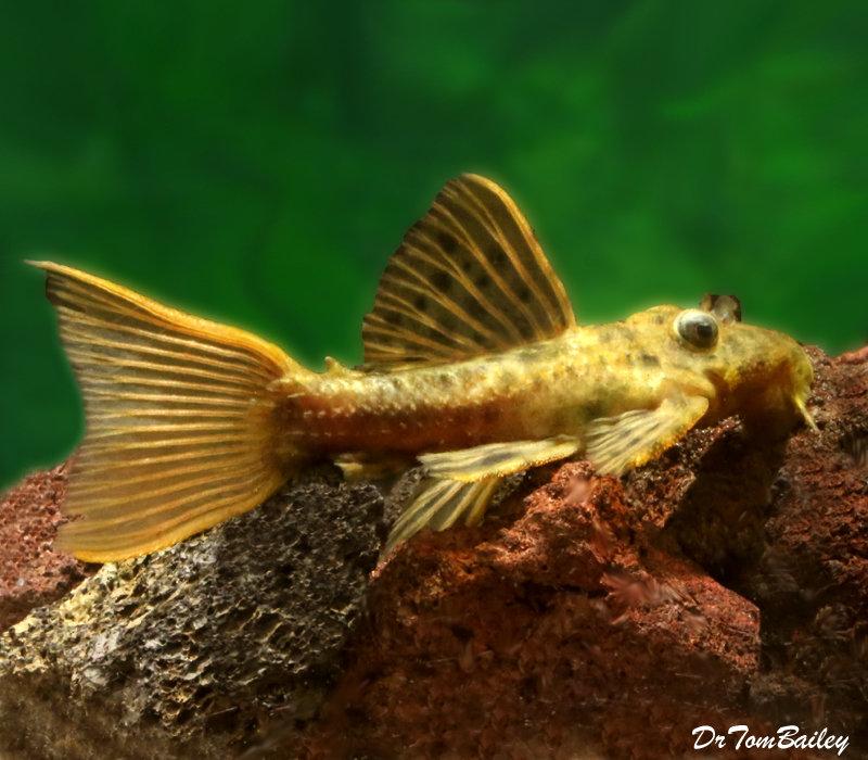 Premium, Wild, Rare, Spiny Monster Plecostomus Catfish, L096, 4