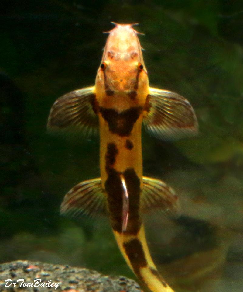 "Premium Rare, Gecko Loach, 1.5"" to 2"" long"