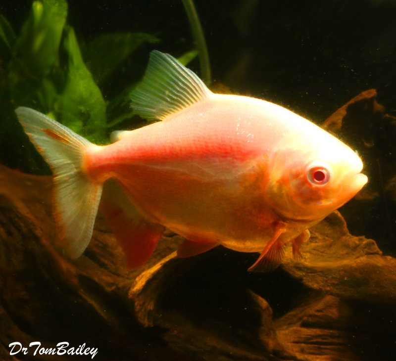 "Premium WYSIWYG Albino Pacu, 4.5"" to 5"" long and growing fast"