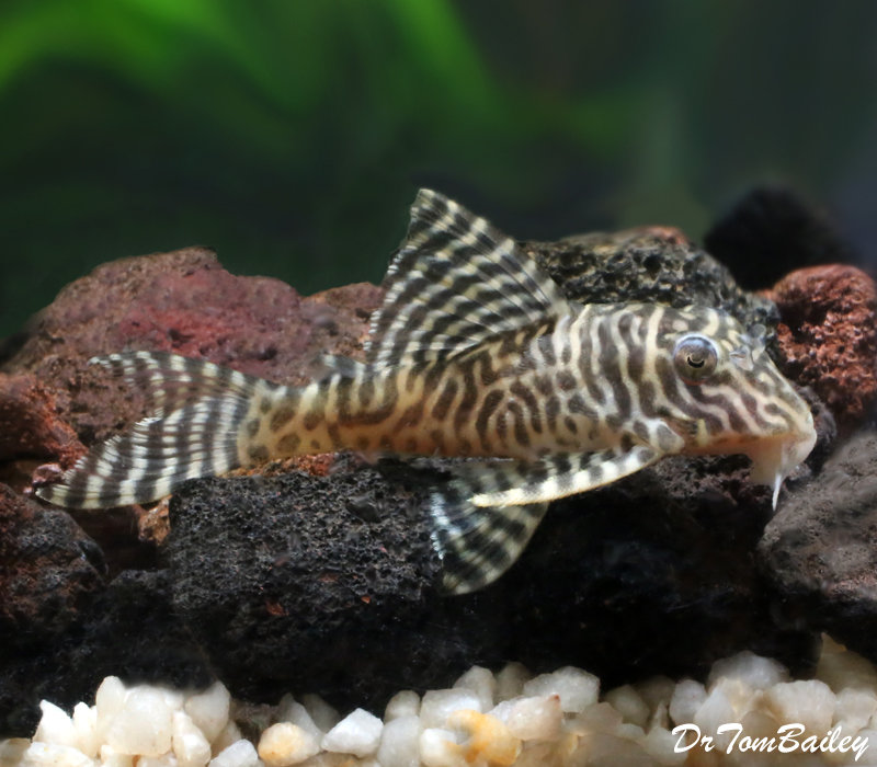 Premium, Wild, Rare, Scribble Pleco or Queen Arabesque Pleco, L260, 3
