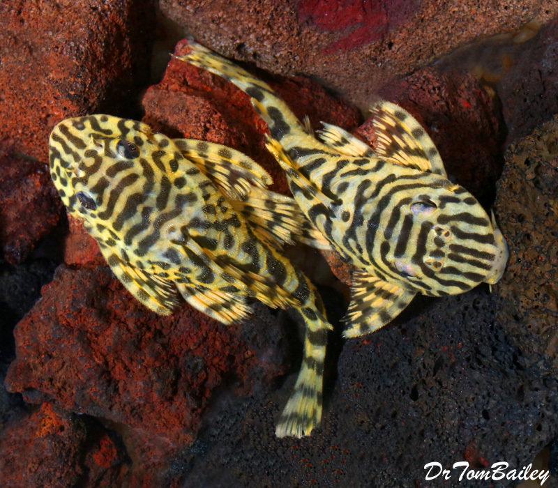 "Premium, Wild, Rare, Leopard Frog Plecostomus, L134, 3"" to 3.5"" long"