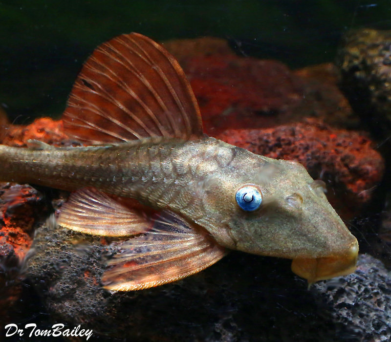 Premium, Wild, Rare, Blue Eye, Red Fin Pleco, L-137, 2.5