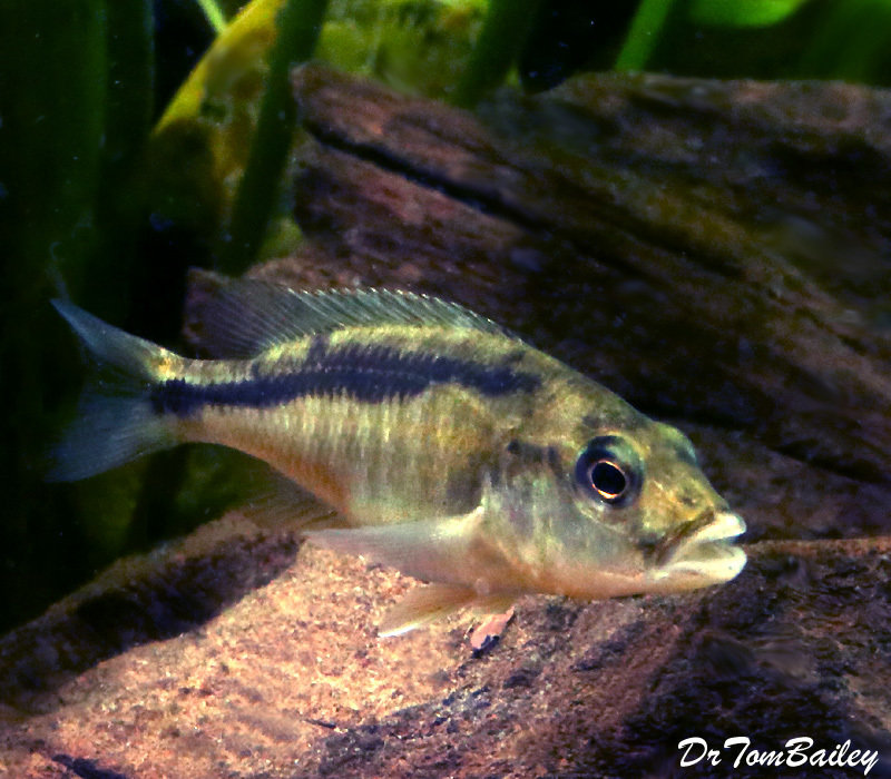 "Premium New Rare, Lake Malawi Trout, Champsochromis caeruleus Cichlid, 5 to 6"" long"