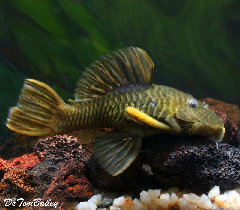 Premium, Wild, Rare Chubby Plecostomus, L096, 3