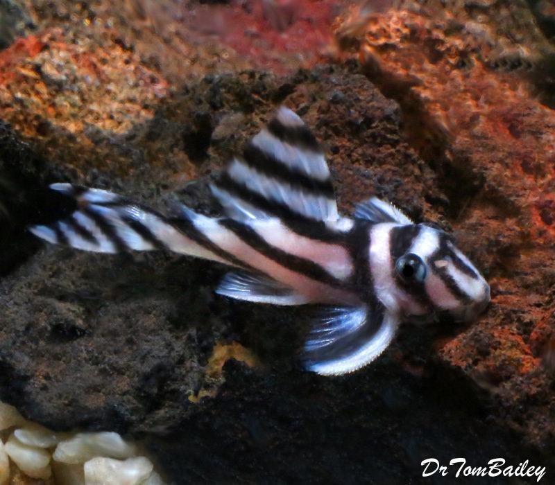 Premium True Zebra Plecostomus, L046, Size: 1.5