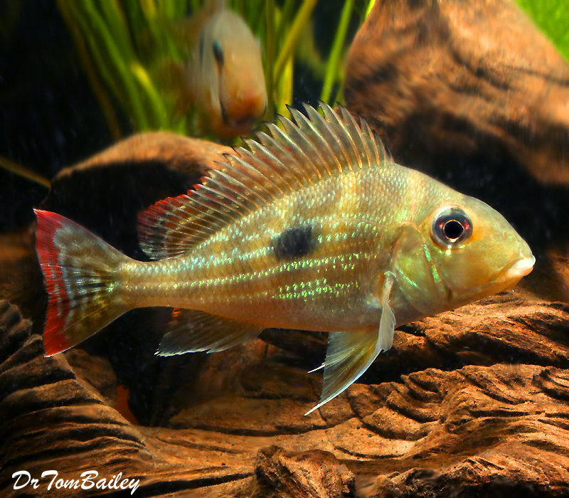 "Premium Rare and New, Geophagus Winemilleri Cichlid, 2"" to 2.5"" long"