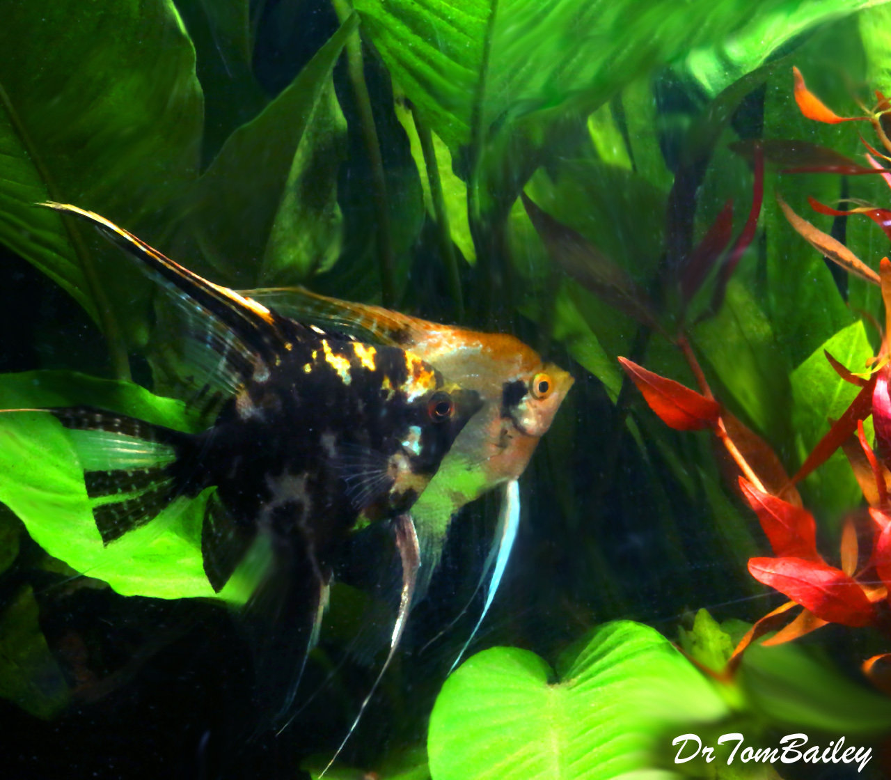 "Premium Marbled Angelfish, 2.5"" to 3"" tall"