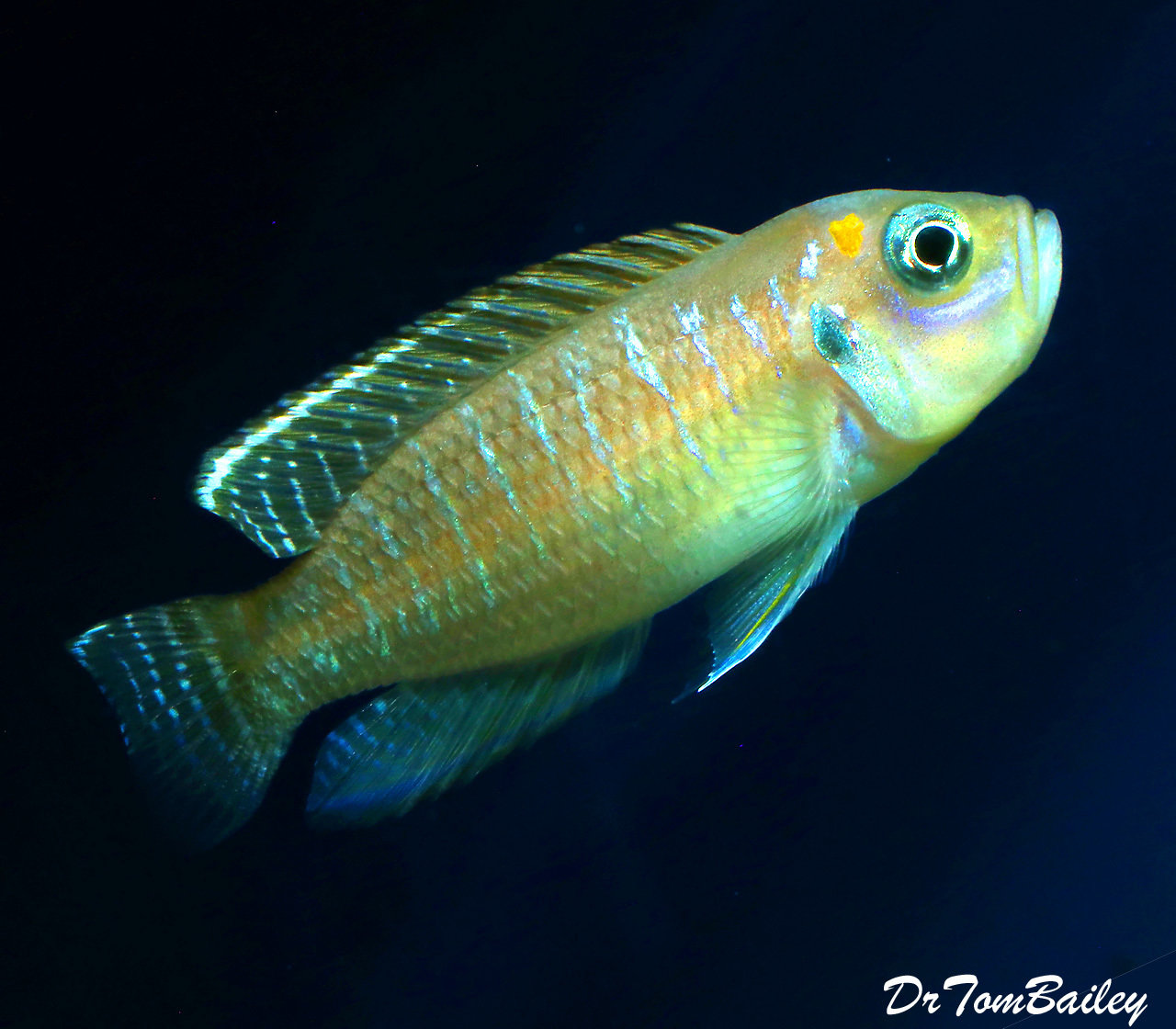 "Premium Rare, Brevis Shell Dwelling Cichllid from Kigoma on Lake Tanganyika Cichlid, 1"" to 1.2"" long"