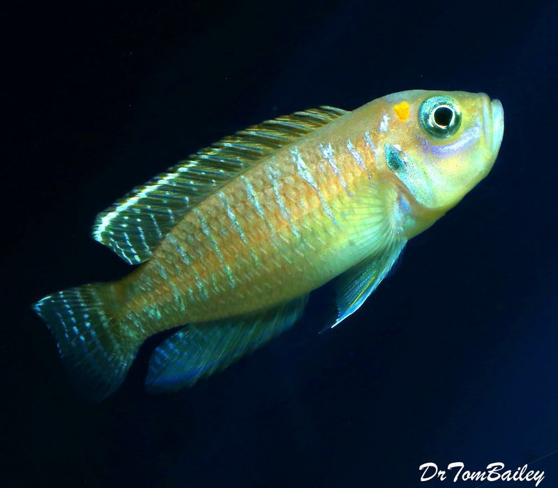 Premium Rare, Brevis Shell Dwelling Cichllid from Kigoma on Lake Tanganyika Cichlid, 1