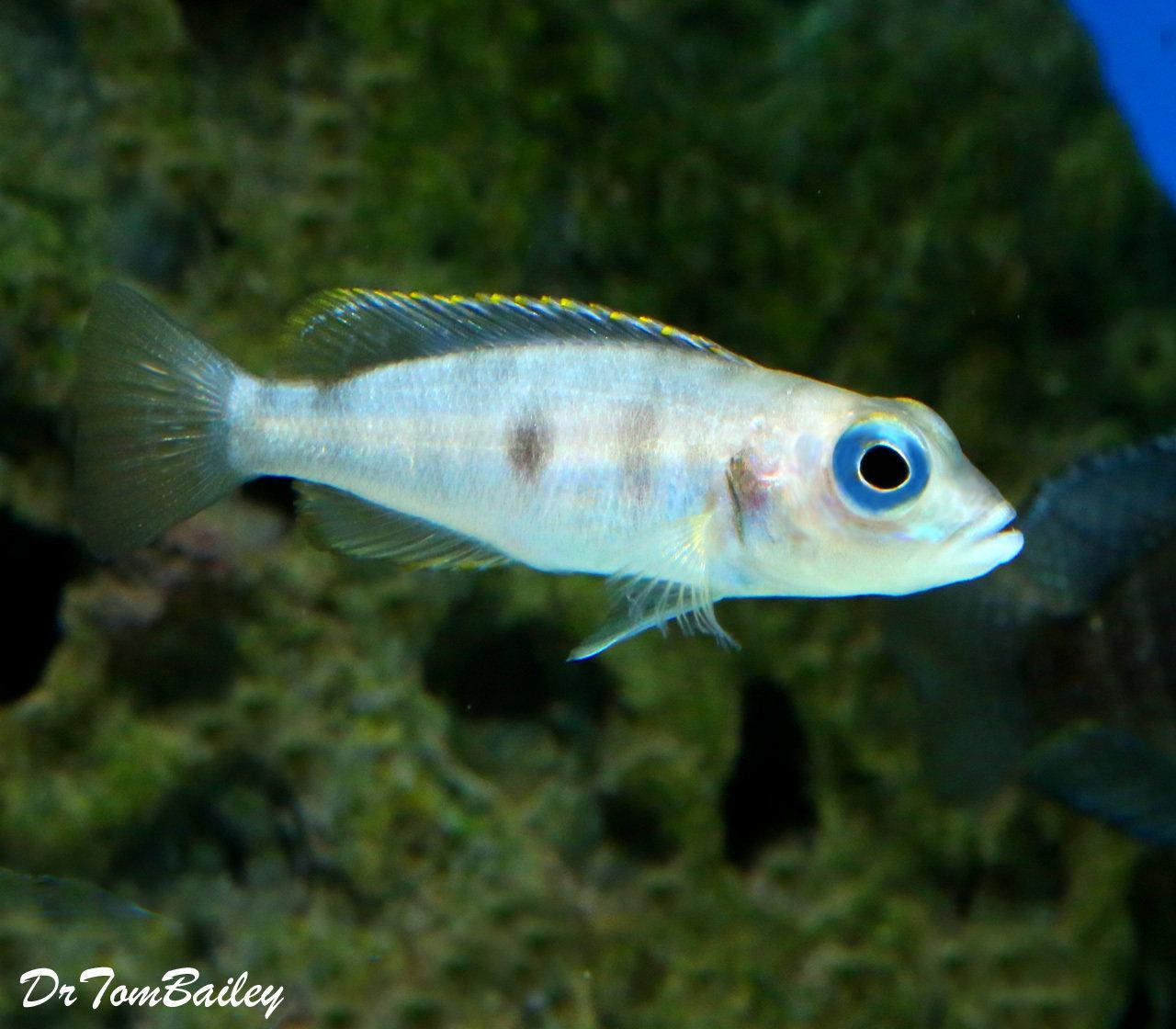 "Premium Rare, Hecqui Shell Dwelling cichlid from Lake Tanganyika, 1"" to 1.5"" long"