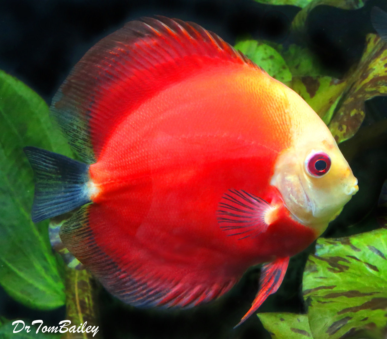 "Premium Red Marlboro Discus, 4"" to 4.5"" long"