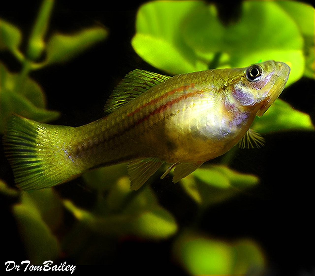 "Premium Green Swordtail, 1.5"" to 2"" long"
