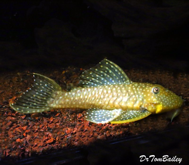 Premium, Wild, Rare, Speckled Chubby Plecostomus, L028, 7