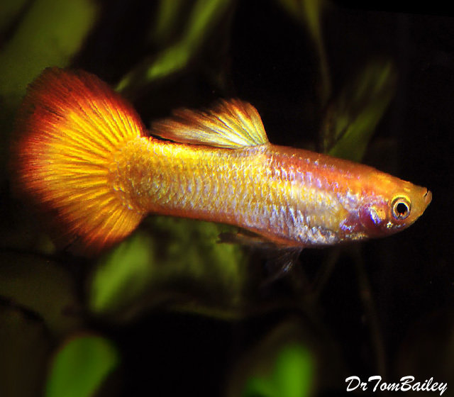 "Premium MALE Tequila Sunrise Fancy Guppy, 1"" to 1.5"" long"