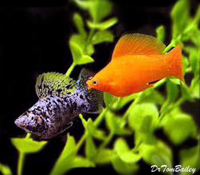 "Premium Assorted Sailfin Molly Males, 2"" to 2.5"" long"