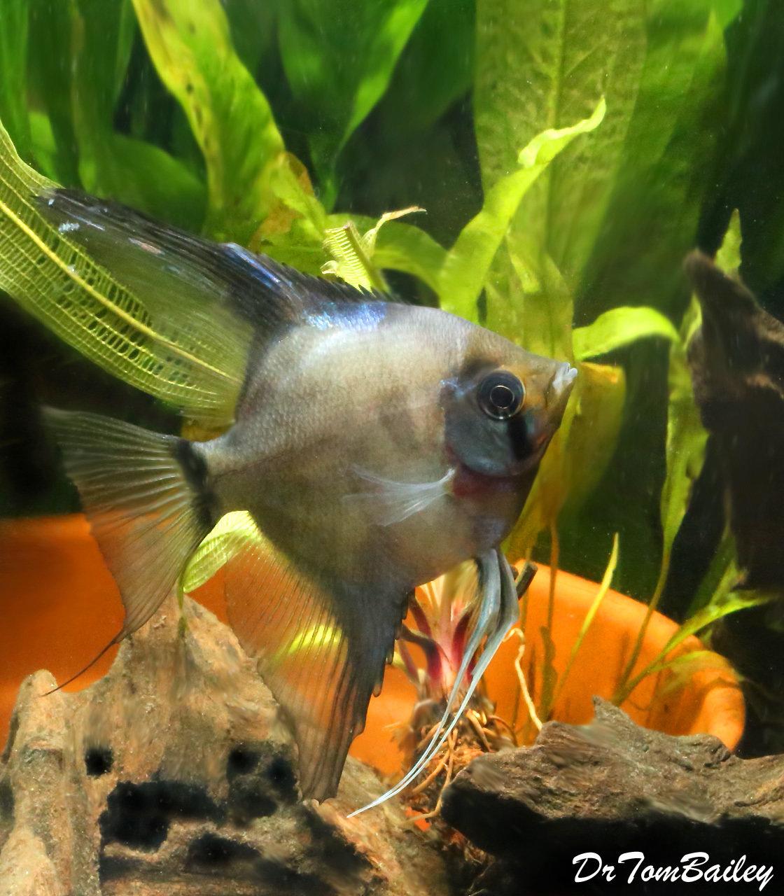 """Premium Rare, WYSIWYG Panda Angelfish, 4.5"""" to 5"""" tall"""