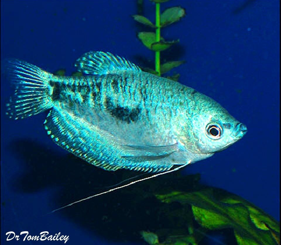 "Premium Opaline Gourami, 2.5"" to 3"" long"