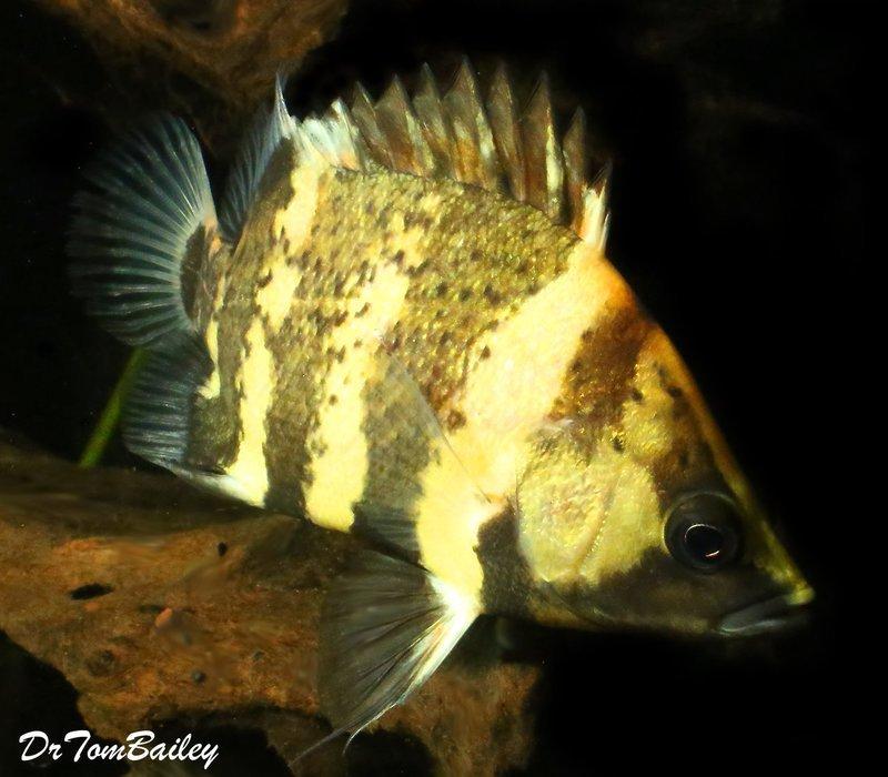 Premium Rare, Wild New Guinea Tiger Datnioides, NGT, 3.5