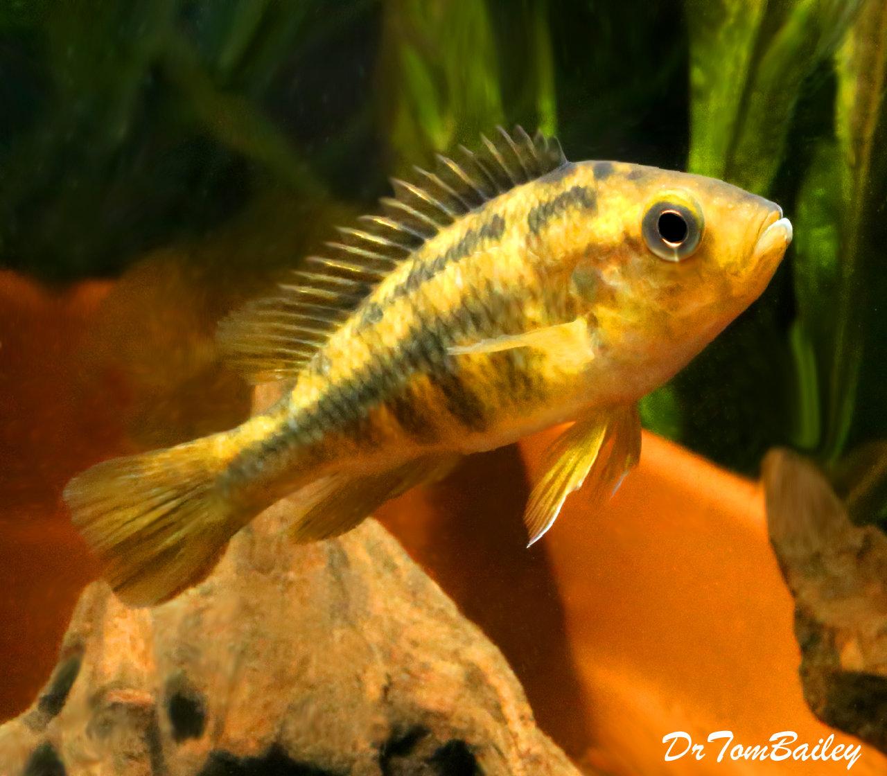 "Premium Lake Victoria Yellow Rock Kribensis Cichlid, 2.5"" to 3"" long"