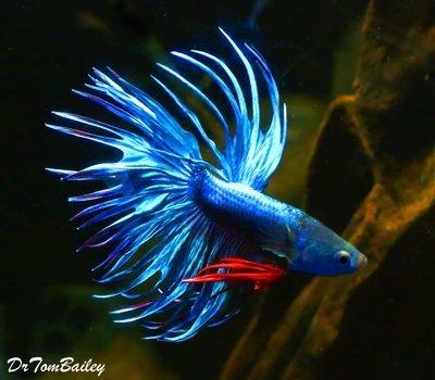Premium MALE Blue Crowntail Betta Fish, Size: 2.5