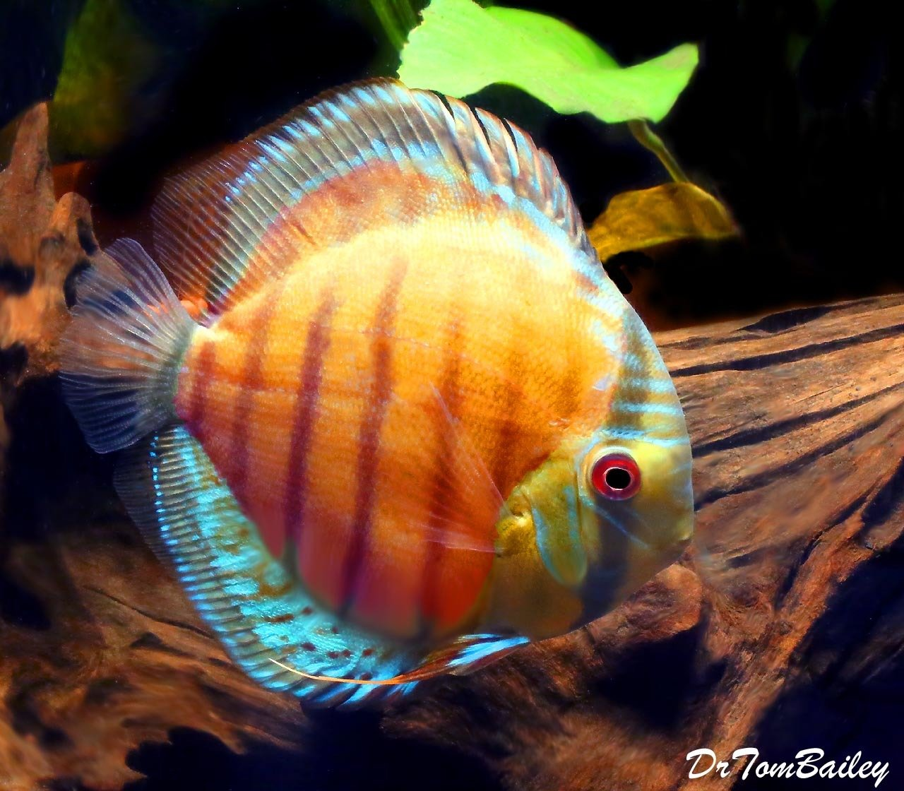 "Premium Wild Green Discus, 3.5"" to 4"" long"