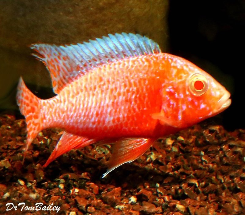Premium Lake Malawi Strawberry Peacock, 2