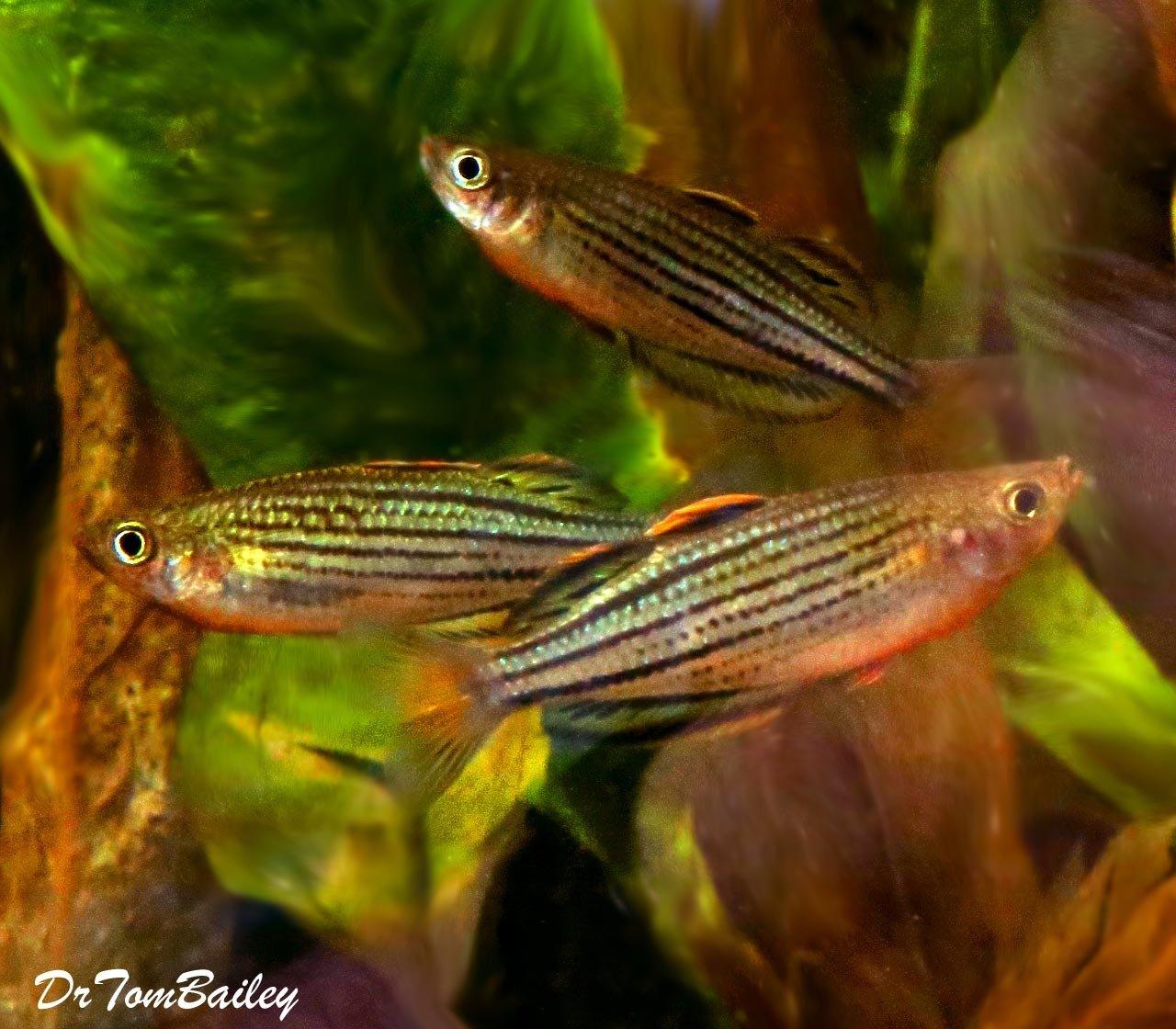 """Premium Rare Skull Creek Rainbowfish, 1.5"""" to 2"""" long"""
