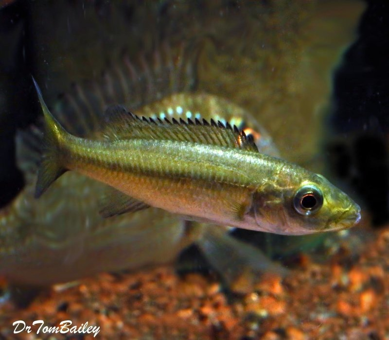 Premium Rare New, Rhamphochromis Esox from Lake Malawi, 3.5