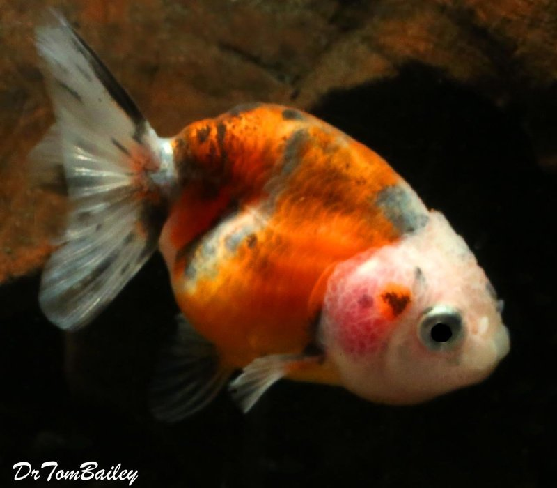 Premium Calico Ranchu Goldfish, 2