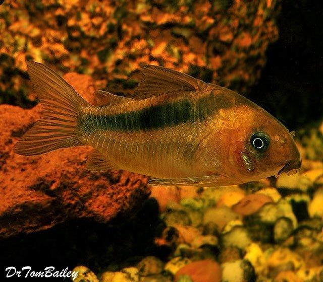 "Premium Rebauti Corydoras Catfish, 1"" to 1.5"" long"