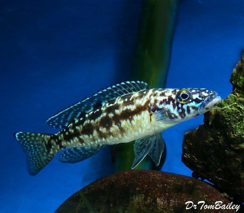 Premium Rare and New, Lake Tanganyika Lepidiolamprologus Nkambae Cichlid, 1.5