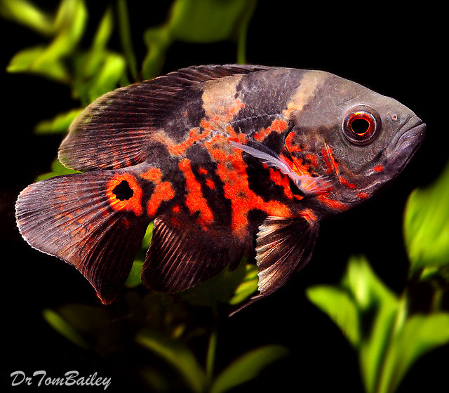 "Premium Tiger Red Oscar Cichlid, 2.5"" to 3"" long"