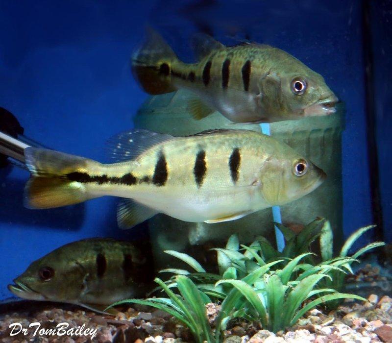 Premium Rare Bahia Kelberi Peacock Bass, 2