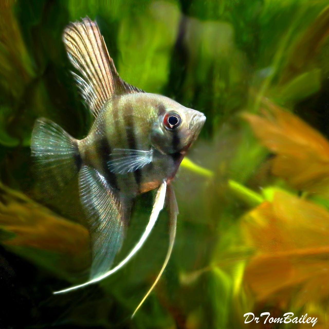 "Premium Larger Silver Angelfish, 2.5"" to 3"" tall"