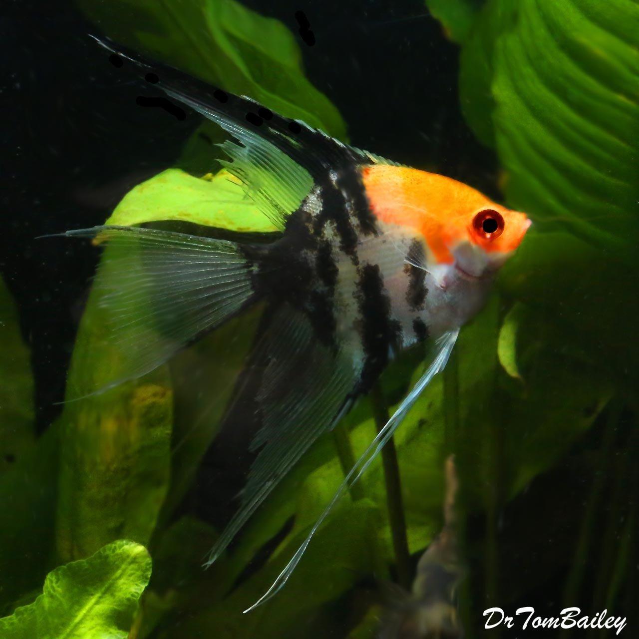"""Premium WYSIWYG Veiltail Koi Angelfish, 3.5"""" to 4"""" tall"""