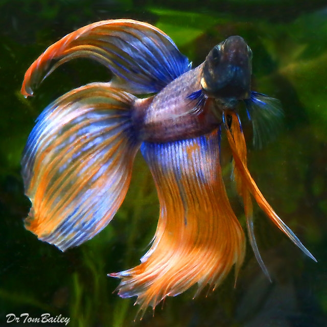 Premium Rare Extremely Unique Male Betta Fish, 2.5