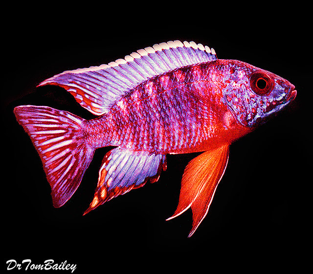 Premium Lake Malawi Red Shoulder Peacock Cichlid, 3