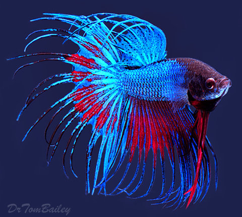 "Premium Extremely Unique Male Crowntail Betta, 2.5"" to 3"" long"