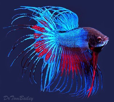 Premium MALE Extremely Unique Crowntail Betta Fish, Size: 2.5
