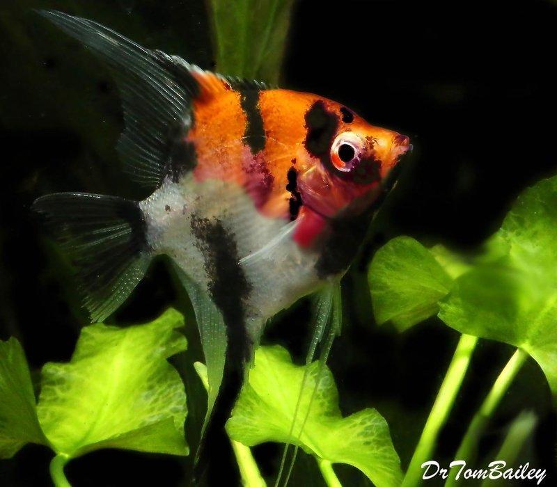 Premium Select Koi Angelfish, 1.5