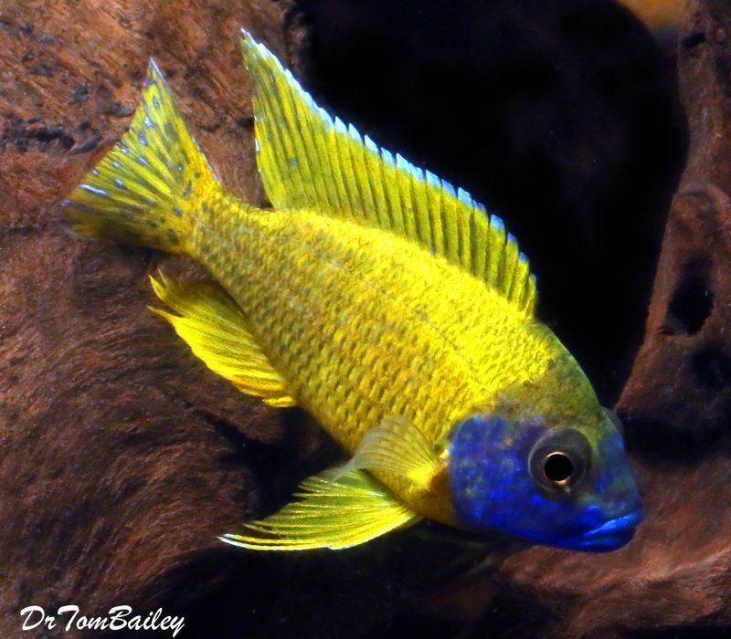 Premium Lake Malawi Yellow Benga Peacock Cichlid, 3